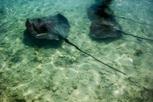 Sting rays in the shallows, Bora Bora