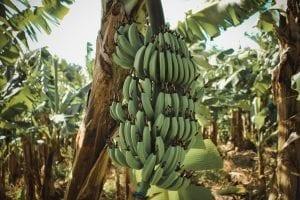 a banana tree full of bananas