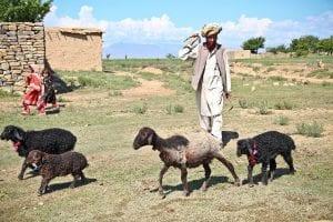 Afghani shepherd