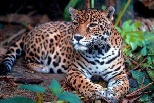 Facts about Jaguar Cats