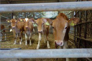 Guernsey cattle calves