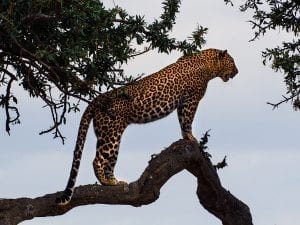 interesting facts abou Jaguars