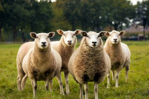 a small flock of woolly sheep