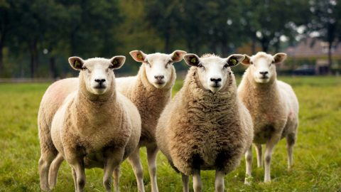 interesting facts about sheep