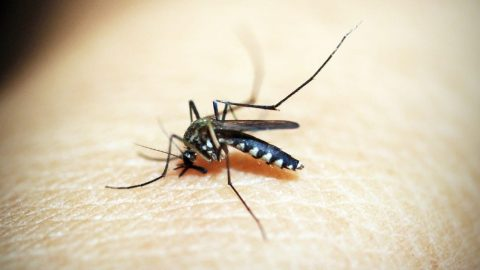 interesting facts about Mosquitos