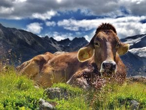 An Alpine Cow, chewing the cud