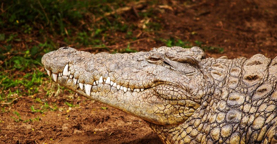 differences between alligator and crocodile