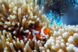 A clown fish hiding in anemone coral