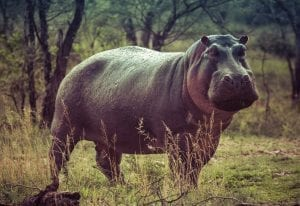 Hippo Facts