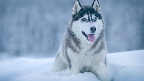 facts about Siberian huskies