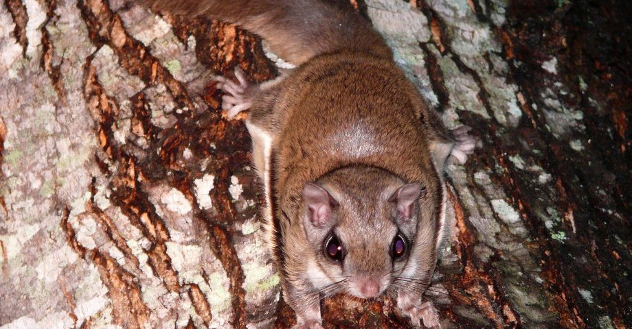 facts about the flying squirrel