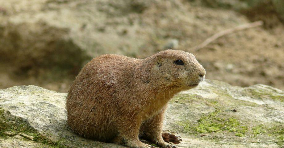 fun facts on beavers