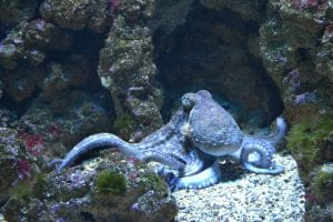 cool facts about octopus