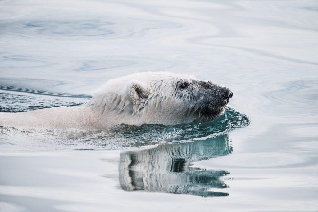 Polar bear swimming in Arctic water