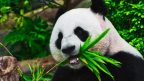 interesting facts about the panda