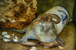Funny Facts about Octopus