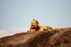 random facts about Lions