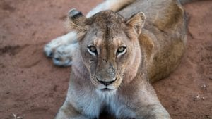 south african Lioness facts