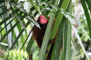Iquitos monkey, Peru