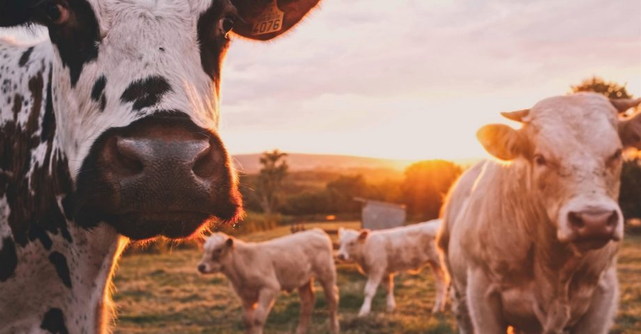 facts about dairy cows