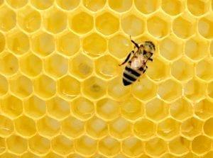 a honey bee on honeycomb
