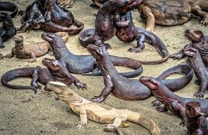 Lots of Komodo dragons all looking in one direction