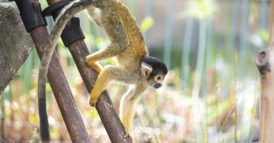 facts about the spider monkey