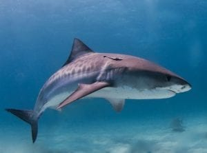 facts about tiger sharks