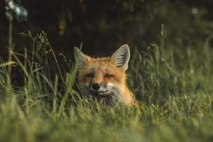 fun facts about foxes