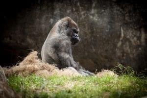 fun facts about silverback gorillas