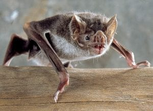 fun facts about vampire bats