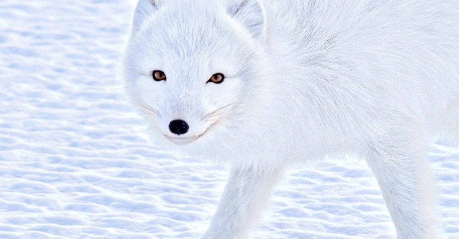 interesting facts about arctic foxes