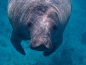 interesting facts about manatees