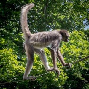 Spider Monkey Facts