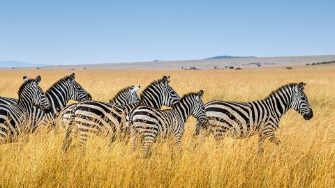facts about Zebra