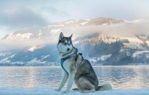 facts on siberian huskies