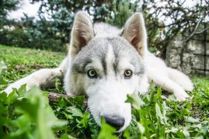 A Husky on grass with the camera almost on his nose