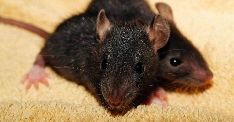 interesting facts about rats