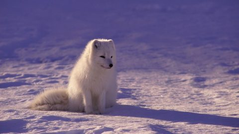 interesting facts about the Arctic Fox