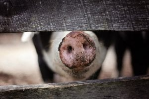 amazing facts about pigs