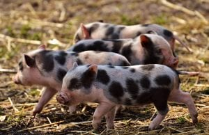 fun facts about pigs