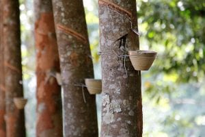 Facts about rubber trees