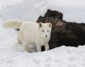 Arctic Fox running in the snow
