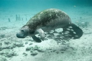 Facts about Manatees