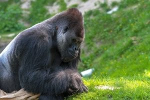Facts about Silverback Gorillas