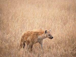 Facts on Hyenas
