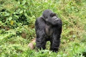 Silverback Gorilla Facts