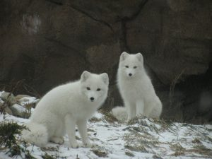 two Arctic Foxes - a rare sight!