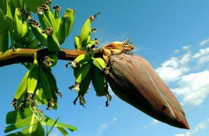 The banana plant