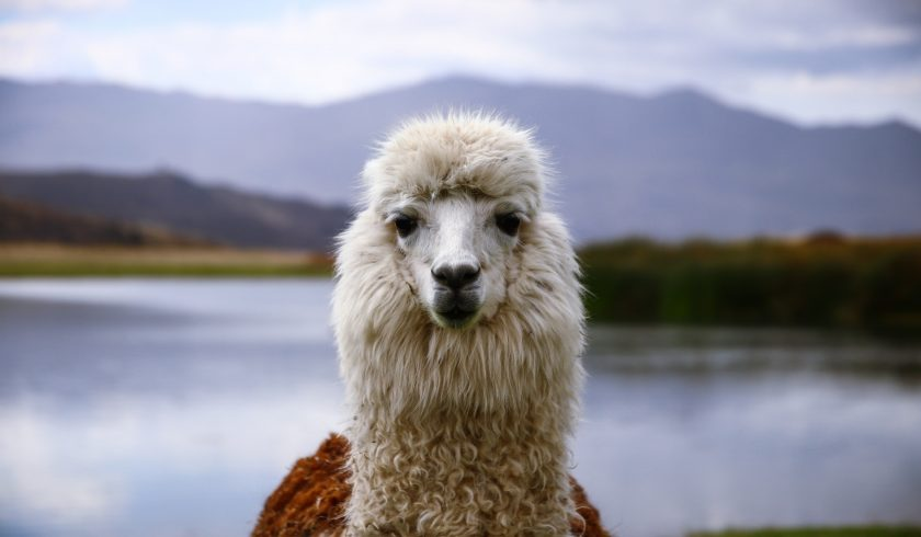 facts about llamas